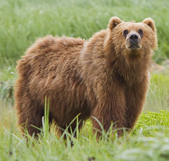 Kodiak bear (courtesy: Yathin S Krishnappa)