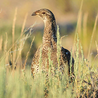 The Greater Sage-Grouse (photo courtesy of Tom Koerner, USFWS)
