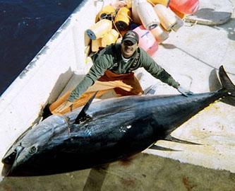 Large bluefin tuna on a ship's deck (Photo Credit: NOAA Fish Watch)