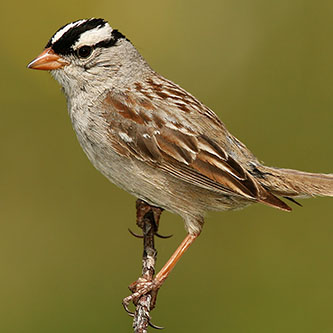 White-crowned-Sparrow  (photo by Wolfgang Wander)